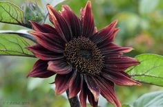 Black Sunflower by ChezneyA (way behind with comments), via Flickr