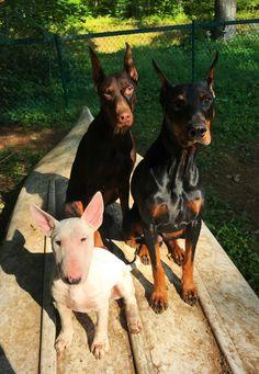 Freyja (red doberman), Cthulhu (black doberman), and Jovie (bull terrier)