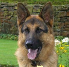 Jake the German Shepherd.  Such a handsome face!