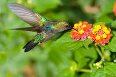 Beija-flor na lantana (Lantana camara)