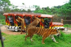 Meet Subic: Zoobic Tiger Safari    Image from Google