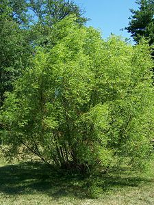Salix nigra (black willow) native ohio tree