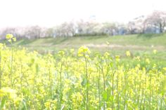 Spring has come. (Iwaki-city, Fukushima, JAPAN)