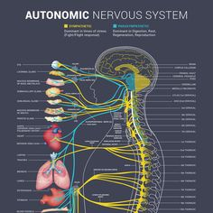 Bring our autonomic nervous system to life! by Bence Balaton Medical Facts, Medical Information, Nervous System Anatomy, Human Nervous System, Nursing School Notes, Autonomic Nervous System, Vagus Nerve, Endocannabinoid System, Body Anatomy