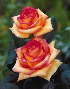 Rosier buisson 'jean piat' (adacorhuit) - Achat (rosa 'jean piat') - Willemse