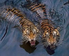 Tiger Couple Photo by Robert Cinega