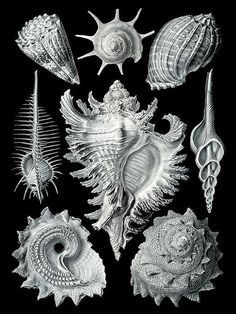 GEREMASTERDE Ernst Haeckel Print Prosobranchia Sea Shell 1800