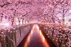Tunel de arboles en Sakura, Japón. Conformado principalmente por arboles de Cerezo.