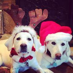 Labrador happy holidays!