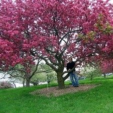 """pink flowering crabapple tree / ATTRACTS: Cabbage White Butterflies.  Plant with Pinyon pines, which attract Monarch Butterflies. (Malva spp) """"Hopa"""" best! Protect trunks when young with cylinder, from Rodents./ """"Sargent"""" Crabapple is messy, but attracts Birds. Keep leaves raked up."""