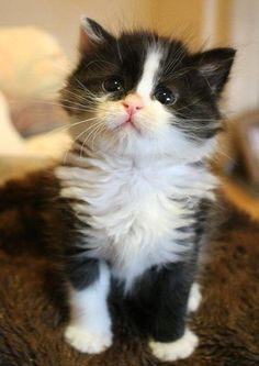 Look how cute kittens. The more you talk to your cat, the more he or she will meow back at you. Cats can also differentiate the tone in your. Kittens And Puppies, Cute Cats And Kittens, Kittens Cutest, Birman Kittens, Tabby Cats, Bengal Cats, Pretty Cats, Beautiful Cats, Animals Beautiful