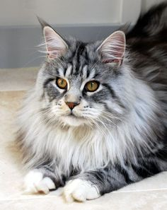 Bobby Dazzler, classic silver & white tabby Maine Coon cat, via isadoryou-maincoones.co.uk