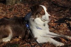 Hanging out in the woods Red Tri Australian Shepherd, Hanging Out, Woods, Corgi, Animals, Aussie Shepherd, Corgis, Animales, Animaux