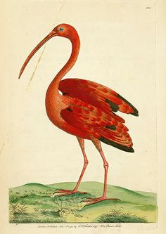 Frederick Polydore Nodder, Ibis rouge, The Naturalist's Miscellany, 1792