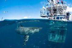 shark cage diving - Google 検索