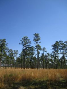 The Alabama state tree is the Southern Longleaf Pine