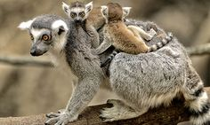 Ring-tailed lemur | Franklin Park Zoo