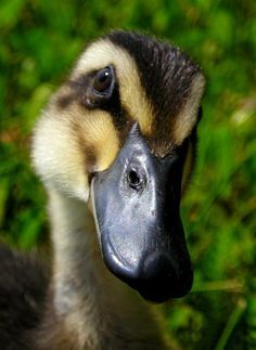 baby duck close up - Google Search
