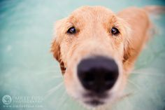 Bella the Golden Retriever | Boca Grande southwest Florida dog photography