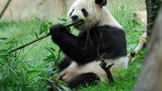 Panda Puppy dog costumes and panda bear themed apparel and accessories. The cutest panda t-shirts, kigurumi costumes, panda ears, jewelry and more! Panda Puppy, Panda Bear, Teddy Bear Costume, Bamboo Species, Fun Fact Friday, Pet Costumes, Cute Panda, Shark Tank, Pet Clothes