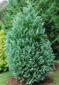 Regarded as the bluest of the Lawson Cypress cultivars, Chamaecyparis lawsoniana 'Pembury Blue' is a majestic, evergreen conifer forming a medium-sized, broadly conical tree. Its elegant, pendulous sprays of bright silvery-blue foliage scream for attention year round. It is of moderate growth, 6-12 in. (15-30 cm) per year. A popular choice in a number of gardens, this cultivar is ideal for providing year-round structure. Evergreen Garden, Evergreen Shrubs, Garden Trees, Trees To Plant, Garden Plants, Types Of Soil, Types Of Plants, Blue Plants, Specimen Trees