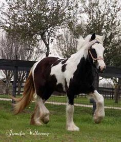 Gypsy Vanner Horse At Magnolia Ranch In Katy, Texas