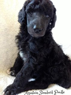 Lucky right after his first grooming at 4 weeks. standard poodle puppies