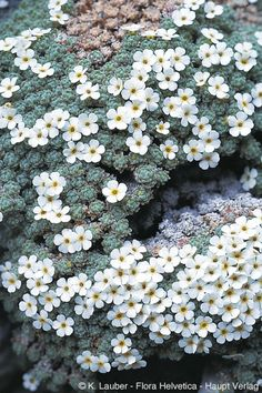 Androsace helvetica Rock Flowers, Flowers Nature, White Flowers, Beautiful Flowers, Cacti And Succulents, Planting Succulents, Planting Flowers, Alpine Garden, Alpine Plants