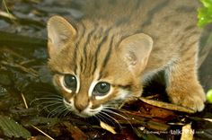 Rusty spotted kitten close-up rusty-spotted cat кошки. Zoo Animals, Cute Animals, Wild Animals, Happy Birthday Kitten, Sri Lanka, Kittens Cutest, Cats And Kittens, Rusty Spotted Cat, Small Wild Cats
