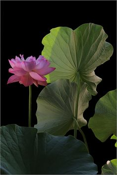Pink Lotus Flower and Leaves: DD0A8204-1000 | Flickr - Photo Sharing!