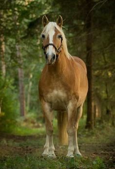 Pretty golden horse in the forest. Avalon & Lolly
