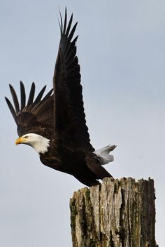 magnificent !!  Yes the american bald eagle  wonderful