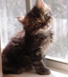 Mushu is an adoptable Tabby - Brown Cat in Tampa, FL. My story: Hi. My name is Mushu. My sister Sushi and I were brought to my foster mom when we were just little kittens. But because we came to live ...