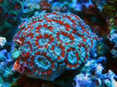 LPS Coral › Acanthastrea sp - Golden Marindo Marine Fish and Live Corals Exporters
