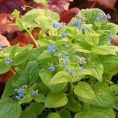 Brunnera is such a great shade plant AND slugs leave it alone!