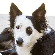 Garland, TX - Border Collie. Meet Ivy, a dog for adoption. http://www.adoptapet.com/pet/11698289-garland-texas-border-collie