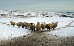 Sheep in Black Hill in the West Yorkshire Pennines today as snow still covers the north of the country
