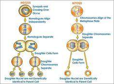 Diagram of #Mitosis and #Meiosis | Mitosis vs Meiosis | Pinterest