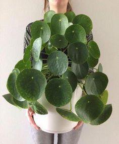 Pannenkoeken plant | Pilea peperomioides #pannenkoekenplant #pileapeperomioides