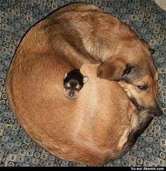 Chiens Bien au chaud et juste la toute petite tête qui dépasse - Dogs Too Cute