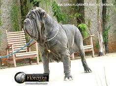 Neo Mastiff, Mastiff Dog Breeds, Neopolitan Mastiff, Group Of Dogs, Awesome Dogs, Dog Id, Big Big, Canes, Best Dogs