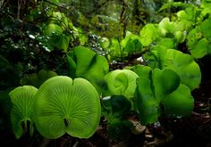 Kidney Ferns, Trichomanes reniforme | ©Steve Reekie   (Aotearoa, New Zealand). The Kidney fern, Trichomanes reniforme, is a filmy fern species native to New Zealand. It commonly grows on the forest floor of open native bush. Individual kidney-shaped ferns stand about 5-10 cm tall. They shrivel when they dry out, but open up again when moisture returns. This species has very thin fronds which are only four to six cells in thickness.  In the Māori language they are also called Raurenga.