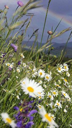 Rainbow in a daisy Meadow Foto Picture, Daisy Love, Nature Wallpaper, Flower Wallpaper, Mother Nature, Flower Power, Fields, Beautiful Flowers, Scenery