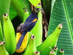Foto encontro (Icterus pyrrhopterus) por Elder Gomes da Silva | Wiki Aves - A Enciclopédia das Aves do Brasil