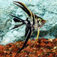 The Angel Fish were my favorites in my aquarium.
