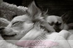 even chihuahuas need their beauty rest!