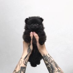 Teacup Pomeranian is a small, active and adorable dog breed. If you are looking for Teacup Pomeranian puppy, you should consider these Black Pomeranian, Pomeranian Breed, Teacup Pomeranian, Pomeranians, Teacup Puppies, Cute Puppies, Cute Dogs, Dogs And Puppies, Cute Babies