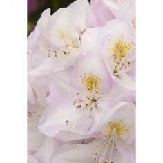 Monrovia 1.6-Gallon White Gomer Waterer Rhododendron