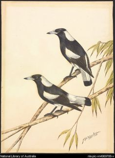 Cayley, Neville W. 1886-1950.  Two black-backed magpies, ca. 1930. Part of Gould League collection of prints and watercolours of Australian birds and animals.  From National Library of Australia collection