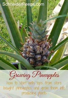 Ever wonder if you can plant the top of store bought pineapples to grow your very own pineapple plant that actually produces fruit? You can! This pineapple was grown from a store bought top. This article has tips to help you grow your own.